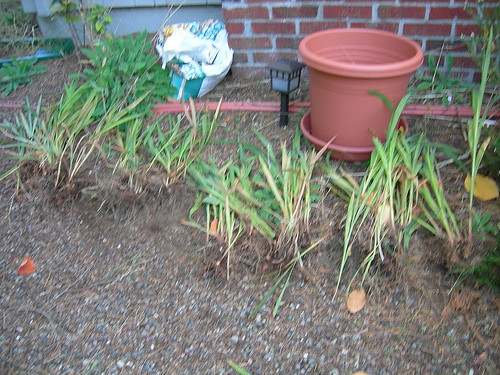 Crocosmia mini clumps after division