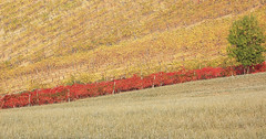 red stripe (montel7) Tags: red tree vineyard hill fields albero rosso campi vigneto collibolognesi absolutelystunningscapes