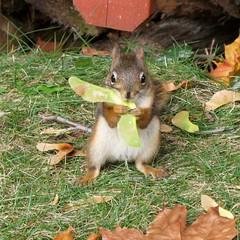 Écureuil roux -- Red Squirrel (Gilles Gonthier) Tags: canada nature animal mammal rodent squirrel québec rodentia redsquirrel mammifère écureuil sciuridae tamiasciurushudsonicus rongeur écureuilroux pinesquirrel canonpowershotg7 ggg704262007