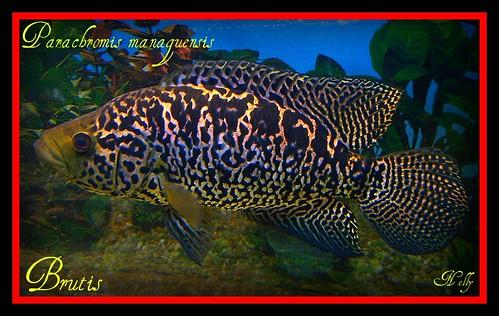 Cuvier Bichir Polypterus Senegalus additionally Auratus furthermore 288467 Scottstanks 125g moreover African Cichlid Species Chart in addition 261715 My Cichlid Pond. on oscar cichlid tankmates