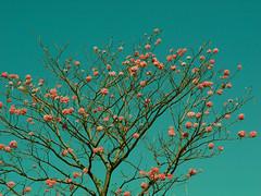 me voy por las ramas (*.:: Mili Miu ::.*) Tags: tree arbol colombia mila guayacan supershot casanare yopal