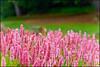 The pink sensation (Manlio Castagna) Tags: pink garden scotland bokeh botanic botanicgarden edinburg manlio flowes castagna manliocastagna manliok