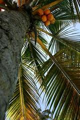 Palms and coconuts... (crazykanga) Tags: pfogold pfoisland01 zangrila2