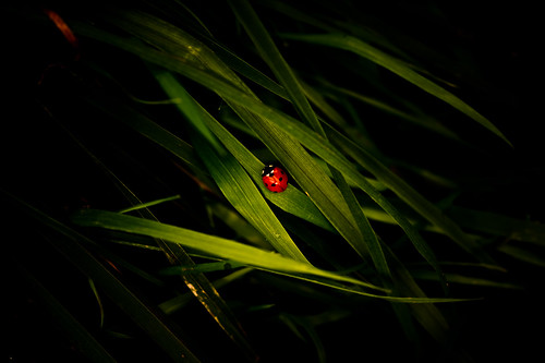 lady beetle by night