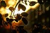 Into the light.. (lambertwm) Tags: autumn light sunset orange fall hoja leaves yellow backlight licht leaf zonsondergang tramonto sonnenuntergang dusk herbst herfst blad pôrdosol lensflare flare otoño puestadesol foglia folha blatt leafs autunno 日落 feuille farben viewcount tegenlicht schemering crepúsculo puestadelsol coucherdusoleil againstthelight غروب bladeren 日没 coloridautunno coloresdeotoño غُروب، مَغيب lwmfav autumnutrecht