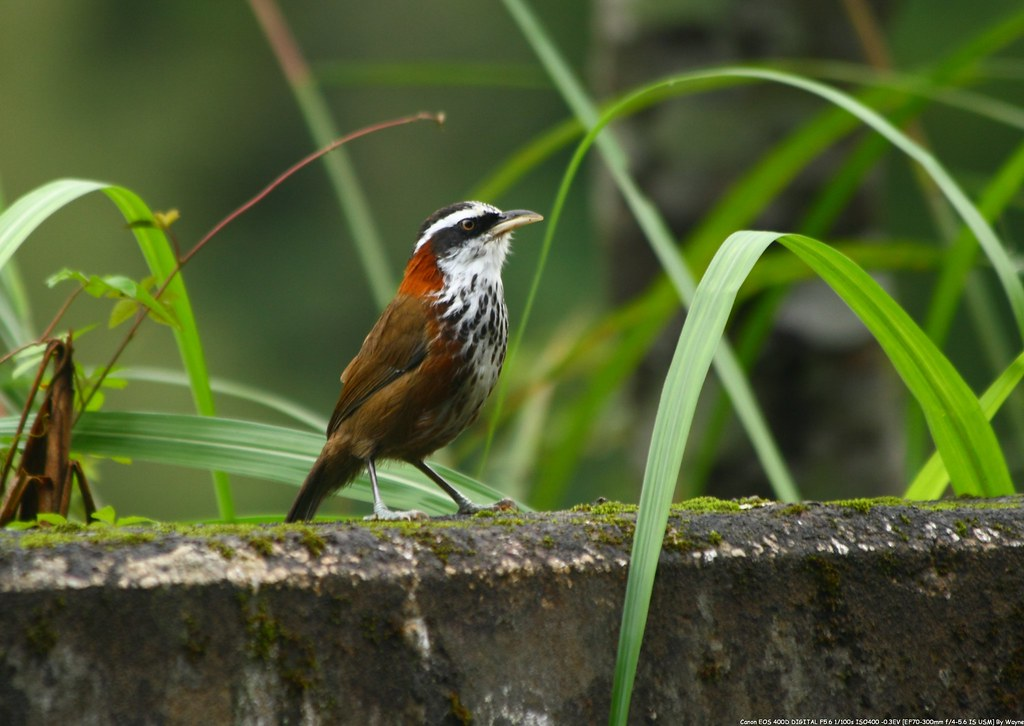 小彎嘴 Streak-breasted Scimitar-Babbler - IMG_1404