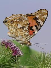 IMGP2020 (remlabk) Tags: macro butterfly butterflies paintedlady