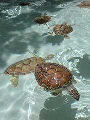 DSCN0744 (Susan M. Hill) Tags: turtles babyturtles excaret cancunmexico breedingpool