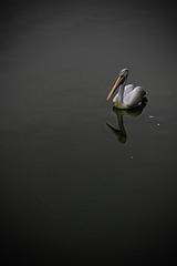 Pelican (sravi_in (Busy at work)) Tags: india bird water bangalore pelican lalbagh bws bigbeak bws30nov2008lalbagh bws30novcubbon