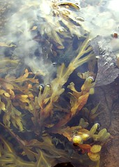 Seaweed (DerickCarss) Tags: sea seaweed beach pool rock island bay scotland clyde scottish isle brodick arran firth rockpool