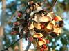 Adanathera pavonina pods (J. B. Friday) Tags: hawaii fabaceae mimosaceae redbeadtree arfp adenantherapavonina adenanthera redsandalwood adenathera qrfp ntrfp arffs redbeantree adenatherapavonina redarffs galleryarf tropicalarf lowlandarf cyrfp circassantree zumbictree
