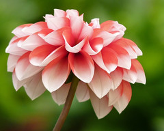 Dahlia (njchow82) Tags: pink dahlia plant flower nature closeup bokeh flowerscolors beautifulexpression beautyunnoticed exquisiteflowers awesomeblossoms njchow82 dmcfz35