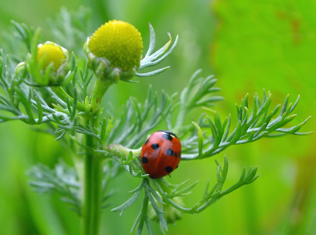 7-spot ladybird on Matricaria discoidea (Pineapple weed) 19th June