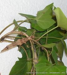S.inexpectata (Guillermo J. Navarro (XhIvAdEmOn)) Tags: insects terrarium phasmids terrariums peruphasma schultei platymeris sungaya inexpectata xhivademon shivademon peruphama