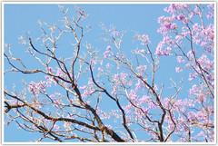 (Intrudr) Tags: pink flowers blue sky tree nikon d40 mohanraj nikond40 malayalikkoottam kfm3 malayalikkottamkfm3 expeditiontodewilds mohanrajk mohanrajnet