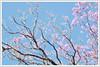 (Intrudēr) Tags: pink flowers blue sky tree nikon d40 mohanraj nikond40 malayalikkoottam kfm3 malayalikkottamkfm3 expeditiontodewilds mohanrajk mohanrajnet