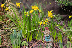 Spring (Mike Serigrapher) Tags: woodley stockport cheshire garden daffodils gnome narcissus spring