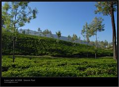 tea estate (Smevin Paul - Thrisookaran !! www.smevin.com) Tags: india paul photography nikon photos kerala contact 1855 thrissur trichur kuriachira smevin smevinpaul d40x trisoor malayalikkoottam smevins thrisookaran kfm3