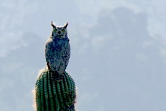 Great Horned Owl - the 180
