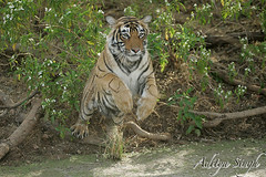 Tiger jump (dickysingh) Tags: india nature cat outdoor wildlife bigcat aditya predator ranthambore singh ranthambhore dicky tigerreserve wildtiger pantheratigristigris adityasingh ranthamborebagh theranthambhorebagh indiatiger tigeraction jumpingtiger wwwranthambhorecom