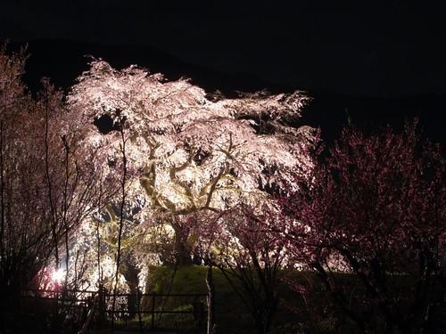 又兵衛桜(ライトアップ)-08
