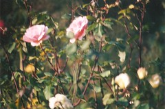 Garden of old roses - University of California Botanical Garden (sftrajan) Tags: botanical berkeley filmcamera botanicgarden botanicalgarden 2007 jardnbotnico jardinbotanique  ortobotanico universityofcalifornia nikonem botanischergarten botaniskhave  kasvitieteellinenpuutarha  ogrdbotaniczny botanickzahrada botanisktrdgrd universityofcaliforniabotanicalgardenatberkeley