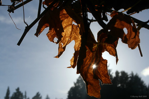 Dead Grape Leaves