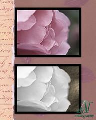 roseflowers8x10