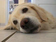Dreaming (horstgeorg) Tags: portrait dog colors animal animals goldenretriever nose kiss brillianteyejewel