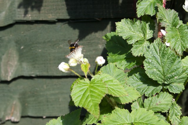Bumblebee on the tayberry