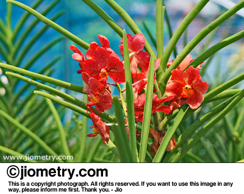 Reddish orange orchids
