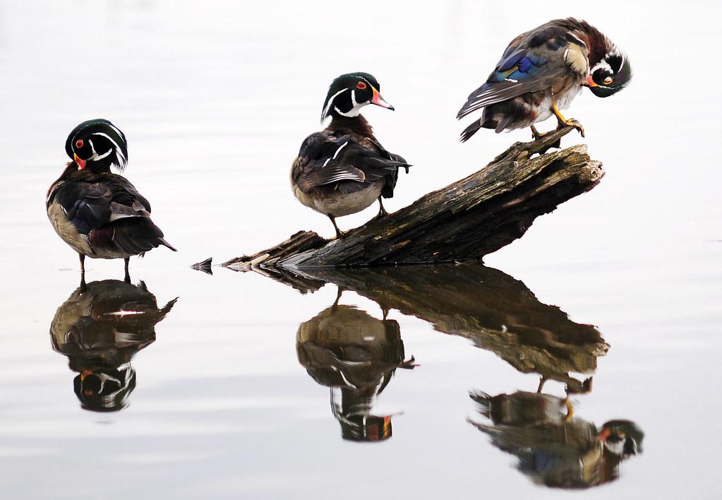 Wood Ducks (Aix sponsa) at Burnaby Lake