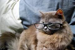 Smart Cat (Shakir's Photography) Tags: white black cute look smart cat hair glasses nice kitten long pretty gray neat lovely   shanko