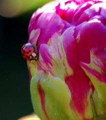 lady bug walks a peony bud (xandram) Tags: flowers summer ladybug anawesomeshot flowerpicturesnolimits