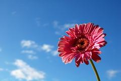 Have a great week! (ClaireMiddsy) Tags: pink sky flower beautiful clouds contrast stem nikon bright scenic petal gerbera daisy pollen hayfever blueribbonwinner d40 wonderfulworldofflowers awesomeblossoms