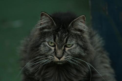 Bellana the Half Bobcat- IMG_2271