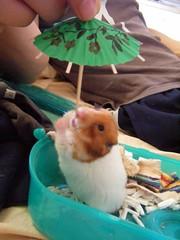 20080614-24 (kayako_) Tags: hamster pon