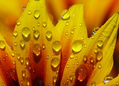 Drops (zio.paperino) Tags: italien italy flower color macro reflection nature water fleur yellow closeup foglie geotagged lumix drops agua eau europa europe italia colours flor natura drop panasonic explore gotas giallo sunflower gazania fiori waterdrops fiore acqua soe calabria goccia gocce fz50 naturesfinest raynox blueribbonwinner gazzania supershot fantasticflower abigfave platinumphoto anawesomeshot aplusphoto diamondclassphotographer flickrdiamond theunforgettablepictures theperfectphotographer goldstaraward awesomeblossoms ziopaperino bestcapturesaoi mygearandme mygearandmepremium mygearandmebronze mygearandmesilver mygearandmegold