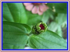 blooming (TARIQ HAMEED SULEMANI) Tags: flowers pakistan snaps bloom framedpictures bloomingflowers supershot beautifulsecrets tariqhameedsulemani