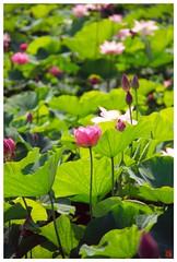 Lotus 20080712 #02