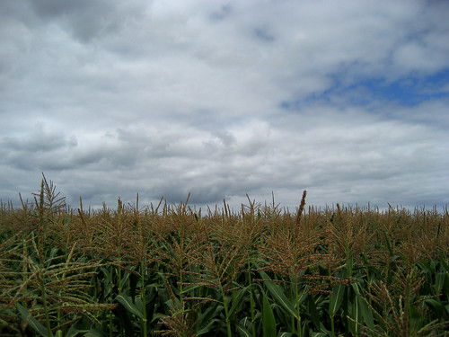 Corn, Sauvie Island
