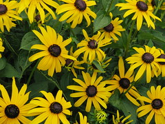 More Black Eyes Susans (MaryAnnC66) Tags: flower yellow blackeyedsusan