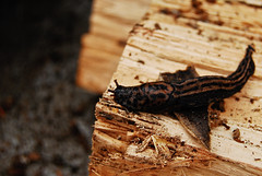 SLUG! (kuyman) Tags: wood black texture digital insect big cool sticky slug campground firewood pest koa foxfire mccomas kuyler d40x kuyman