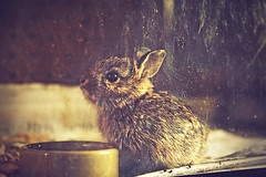 dust bunny (solecism) Tags: baby rabbit bunny rehab