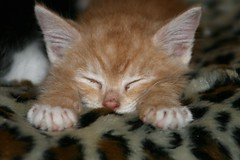 I am, I am Superman... (terri_lg) Tags: rescue orange cat kitten tabby tiger superman foster shelter orangetabby jax mittens babycat redtabby orangetiger cc300 mywinners pet100 summer08 jlitter terrigreen terrilg orangetigerkitten
