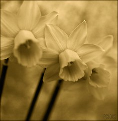 Together (BurstsofSingleMindedness is looking for an alterna) Tags: sepia spring utata dafodills lente narcissen abigfave