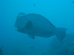 Bumphead Parrotfish galore this weekend; 6 Bumpheads on 3 dives