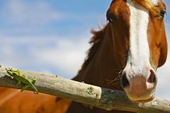 What The...?! (Bill Adams) Tags: horse hawaii reptile lizard explore getty waimea bigisland animalplanet kamuela naturesfinest jacksonschameleon 8x12 canonef70200mmf28lisusm mywinners abigfave chamaeleojacksonii