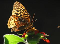 Ich kann Ihnen die Samen, aber nicht der Schmetterling schicken