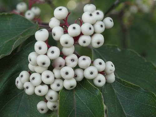 Red Dogwood Berries